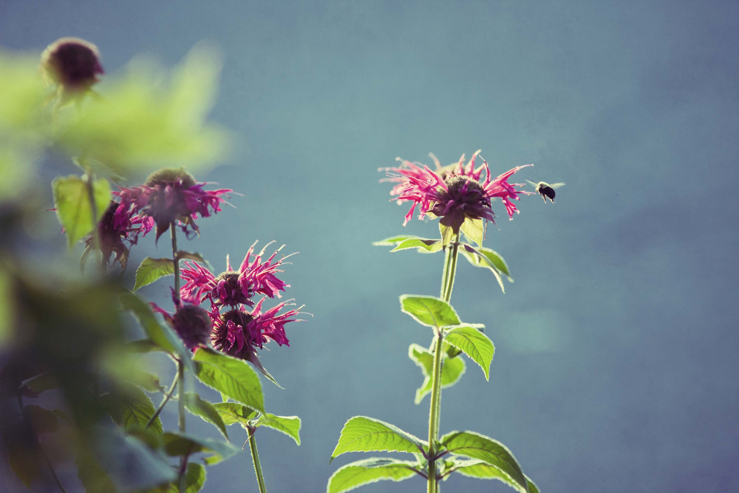 bee-balm-with-honeybee.jpg