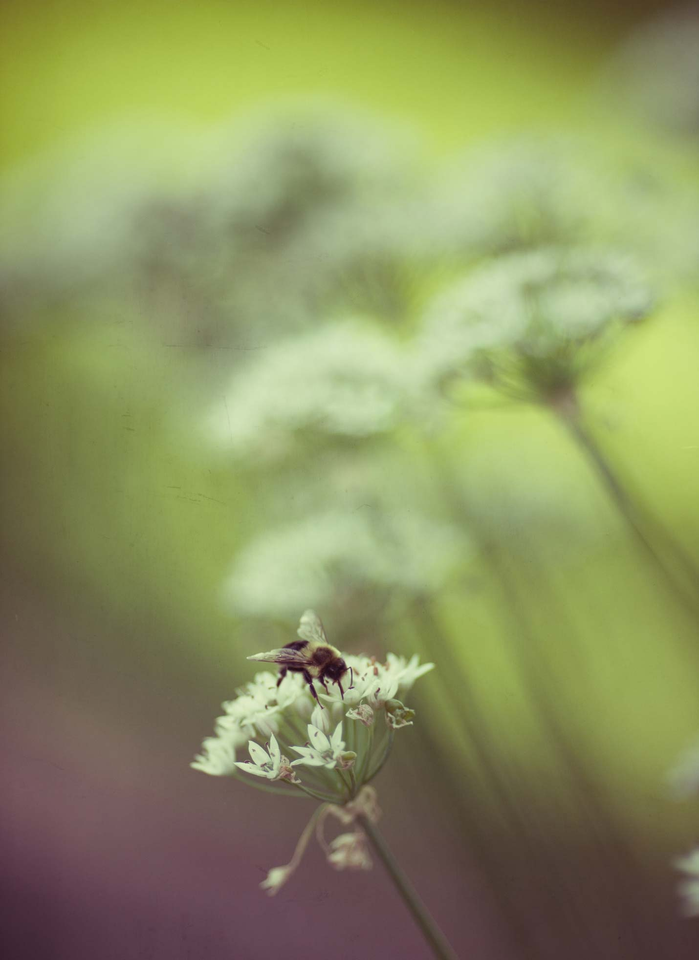 bumble-bee-in-chive-blossom.jpg